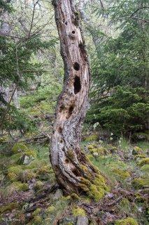 Tronc mort. Forêt de Matheysine