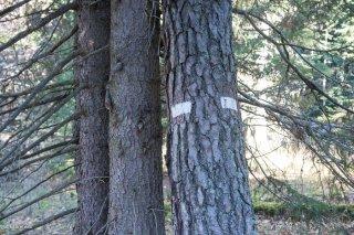 Marquage forestier dans le Trièves. Isère