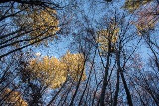 Forêt de Trembles et de Hêtres dans le Trièves. Isère