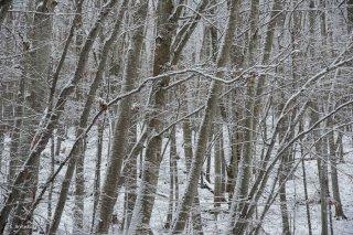Hêtraie en hiver dans le Trièves. Isère