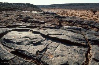 Gravure rupestre. Représentation de bovins