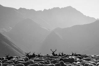 Troupeau de moutons en alpage à la Salette (Isère)