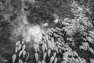 Troupeau à l'alpage de la Salette, le chien gouverne le troupeau. Isère