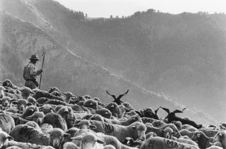 Pascal, berger au col d'Allos mène le troupeau