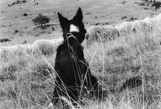 Alpage de la Salette en Isère. Naou, chienne Border Collie