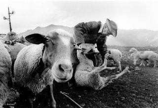 Henri, éleveur et berger dans le Champsaur soigne le pied d'une brebis. Hautes-Alpes