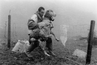 Alain, berger dans le Valgaudemar soigne une brebis