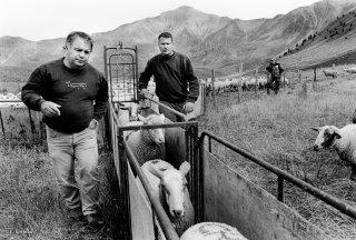 Les éleveurs montent trier les brebis prêtes à agneler fin août. Champsaur, Hautes-Alpes