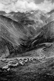 Descente du troupeau au pied de l'alpage. Valgaudemar, Hautes-Alpes