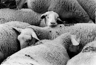 Brebis prêtes à agneler. Champsaur, Hautes-Alpes