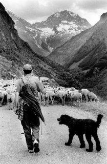 Arrivée du troupeau dans le Valgaudemar. Hautes-Alpes