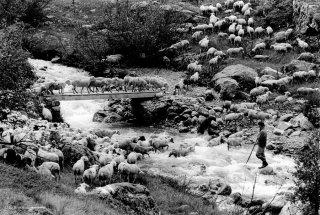 Mathieu, berger dans le Valgaudemar fait traverser le torrent à son troupeau. Hautes-Alpes