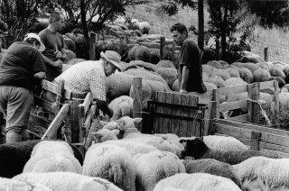 Les éleveurs montent trier les brebis prêtes à agneler fin août. Valgaudemar, Hautes-Alpes