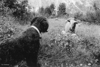 Rencontre entre chienne Berger de Crau et brebis dans le Valgaudemar. Hautes-Alpes