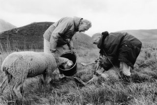 Yveline, bergère dans le Champsaur, soigne une brebis à l'homéopathie. Hautes-Alpes