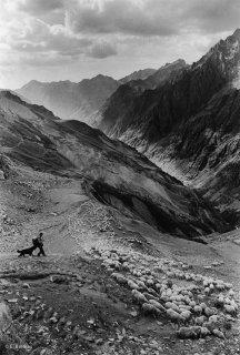Rassemblement du troupeau dans le Valgaudemar. Hautes-Alpes