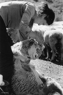 Sylvaine, bergère à la Salette soigne la plaie d'une brebis