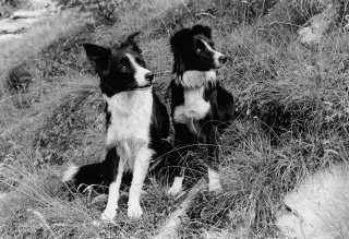Chiens de berger Border Collie