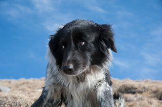 Titan, chien de berger de race Border Collie. Isère