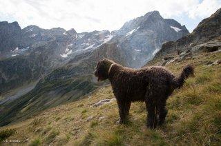 Alpage du Valgaudemar, chien de race Berger de Crau. Hautes-Alpes
