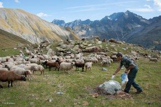 Alain, berger dans le Valgaudemar donne du sel aux brebis. Hautes-Alpes