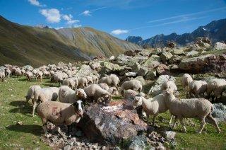 Alpage du Valgaudemar, les brebis mangent le sel. Hautes-Alpes