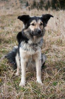 Colosse, chien de berger de race Border Collie. Isère
