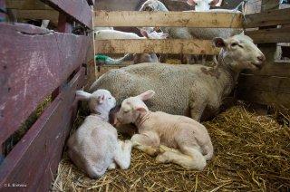 Brebis et ses 2 agneaux. Champsaur, Hautes-Alpes
