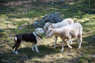 Chien de berger Border Collie et agneaux de race Basco Béarnaise. Champsaur, Hautes-Alpes