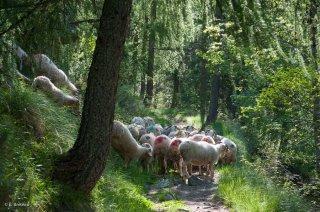 Troupeau de moutons de race Basco Béarnaise