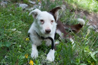 Chien de berger de race Border Collie. Champsaur, Hautes-Alpes