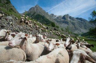 Brebis et agneaux au pied de l'alpage. Champsaur, Hautes-Alpes