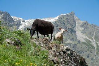 Brebis et agneau. Champsaur, Hautes-Alpes
