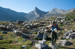Gilles, éleveur du Champsaur, donne le sel à ses brebis en alpage. Hautes-Alpes