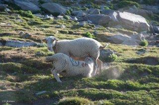 Un agneau tète sa mère. Alpage du Champsaur, Hautes-Alpes