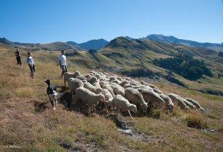 Sébastien, éleveur avec un lot d'agneaux. Champsaur, Hautes-Alpes