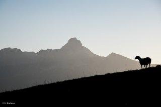 Mouton en alpage à la Salette (Isère) et le sommet de l'Obiou