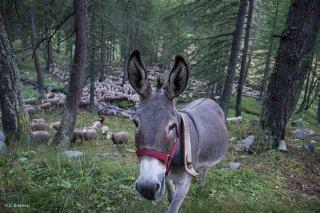 Anesse sur l'alpage de Valdemars dans les Alpes de Haute Provence