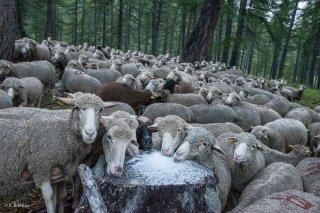 Troupeau de moutons qui mangent du sel sur l'alpage de Valdemars dans les Alpes de Haute Provence