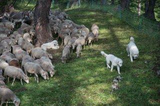 Troupeau de moutons et chiens Patous sur l'alpage de Valdemars dans les Alpes de Haute Provence