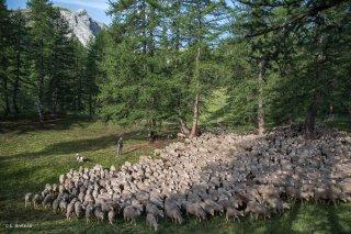 Troupeau de moutons sur l'alpage de Valdemars dans les Alpes de Haute Provence