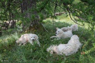 Chiens Patous sur l'alpage de Valdemars dans les Alpes de Haute Provence
