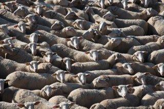 Le berger a rassemblé le troupeau pour faire les soins aux brebis blessées. La Salette, Isère
