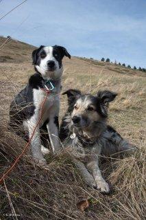Bleu et Colosse, chiens de troupeau de race Border Collie, alpage de la Salette. Isère