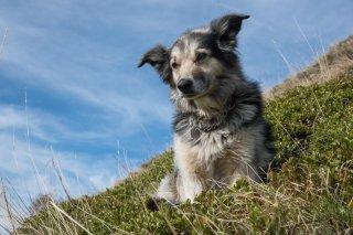 Colosse, chien de troupeau de race Border Collie. Alpage de la Salette. Isère