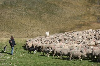 Yveline, bergère à l'alpage du Vallon lâche le troupeau. Champsaur, Hautes-Alpes