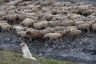 Le Patou veille au troupeau