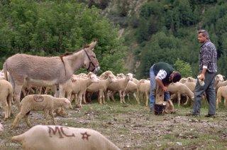 Soin des brebis boiteuses. Alpes de Haute Provence