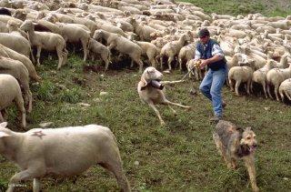 Alpage au col d'Allos, Pascal, berger, attrape une brebis boiteuse pour la soigner. Alpes de Haute Provence