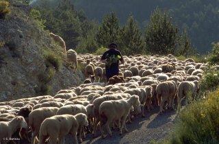 Transhumance des frères Menut. Alpes de Haute Provence